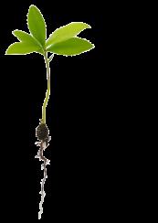 semilla tres